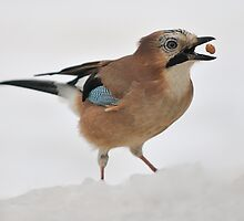 A Jay with Food Balancing by cameravan1