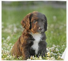 A Field Working Cocker Spaniel Pup - Fudge Poster