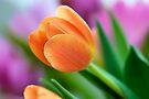 Tangerine Tulip - angled by Renee Hubbard Fine Art Photography