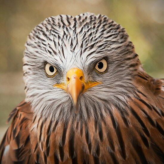 Red Kite (Milvus milvus) by Steve  Liptrot