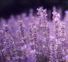 Lavender by Lea Williams