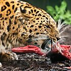 Amur Leopard Eating by John Dickson