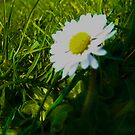 Daisy by Maltie