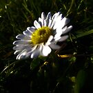 Daisy 2 by Maltie