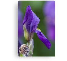 iris gladiolus in the garden Canvas Print