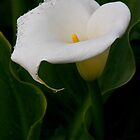 Calla lily 6 by David Chesluk