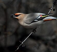 Dark Side Bohemian / Bohemian Waxwing by Gary Fairhead