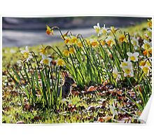 Easter Bunny in the Spring Daffodils Poster