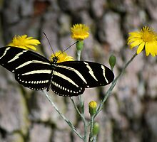Zebra longwing butterfly by Ben Waggoner