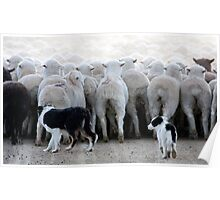 Sheep Dog In Training Poster