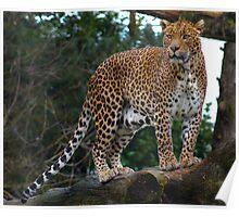 Sri Lankan Leopard Poster