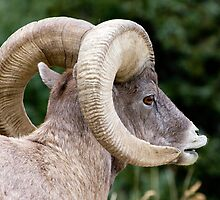 Wild Bighorn Ram Scenting by AMRuttleResale