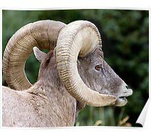 Wild Bighorn Ram Scenting Poster