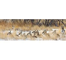 Pronghorn Bedded Down Photographic Print