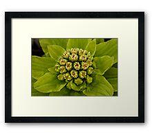 Grouped bundles of little green-white flowers... Framed Print