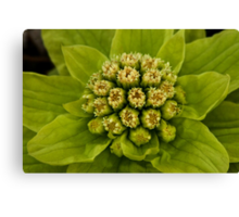 Grouped bundles of little green-white flowers... Canvas Print