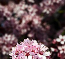 Blossom by Catherine Hadler