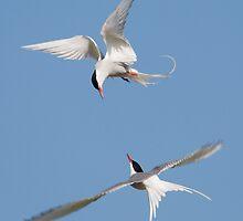 Arctic Terns by Nigel Tinlin