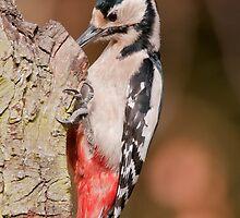 Great Spotted Woodpecker by Willem Hoekstra