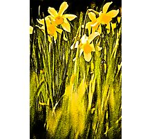 Escot Daffodils, Dancing in the Park.. Photographic Print