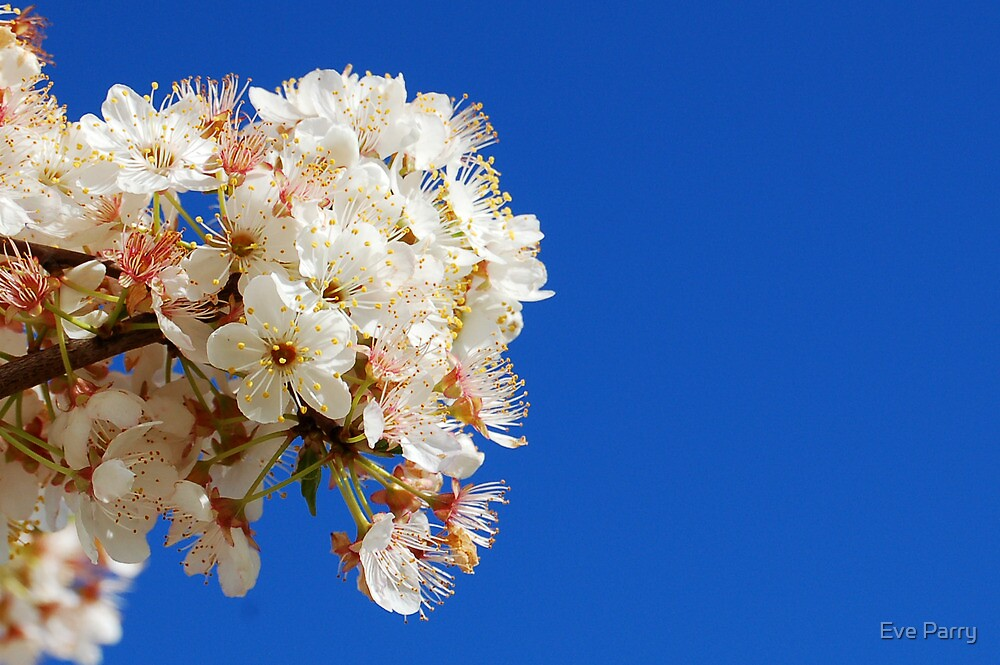 Blossom On The Plum Tree by Eve Parry