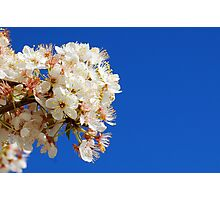 Blossom On The Plum Tree Photographic Print