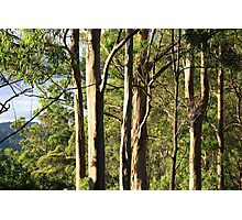 Gum Trees In The Avo Sun Photographic Print