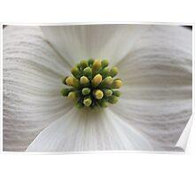 Dogwood Bloom Poster
