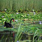 The Black Swan by robert murray