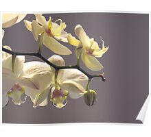 Orchid Collection - 6  Poster