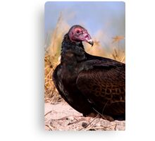 Turkey Vulture Canvas Print