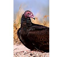 Turkey Vulture Photographic Print