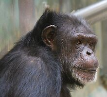 Chimpanzee by carpenter777
