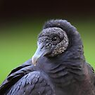 Black Vulture by naturalnomad