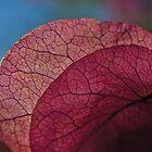 Lacy bougainvillea by Celeste Mookherjee