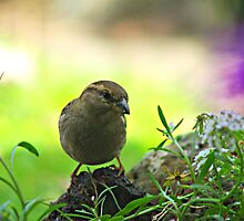 Sparrow by Kerry  Hill