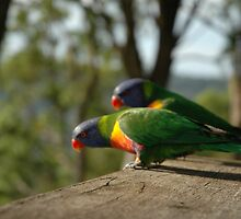 Australian parrots 1 by Ian McKenzie