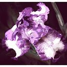 Shades of Purple by Elaine Game