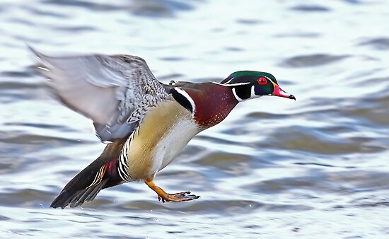 Flight of the Wood duck by Jim Cumming