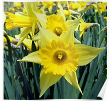 Spring means Daffodils Poster