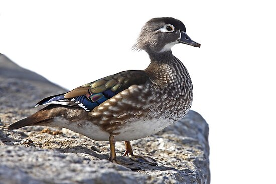 Duck on the rocks by Jim Cumming