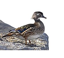 Duck on the rocks Photographic Print