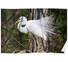 Beautiful Great White Egret Poster