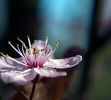 Pink Cherry Blossom_2 by Krystal Cunningham