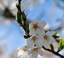 White Cherry Blossoms_1 by Krystal Cunningham