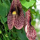 Dutchmans' Pipe by PhotosByHealy