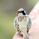Male House Sparrow by Renee Blake