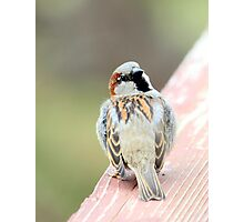 Male House Sparrow Photographic Print