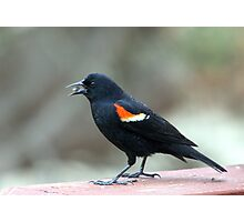 Male Red-Winged Blackbird Photographic Print