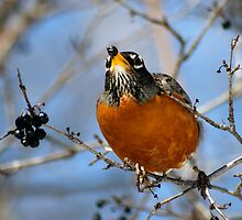Robin enjoying blue berry in March by Robin Clifton